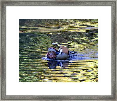 Framed Print featuring the photograph Mandarin Duck 9 by Patricia Youngquist