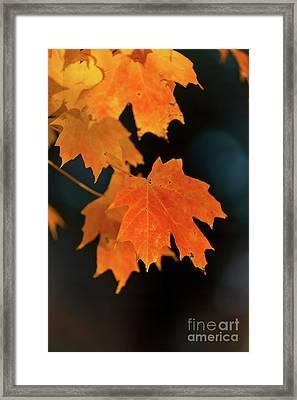 Maple-1 Framed Print