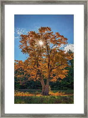 Framed Print featuring the photograph Maple Tree In Full Autumn Glory by Rick Berk