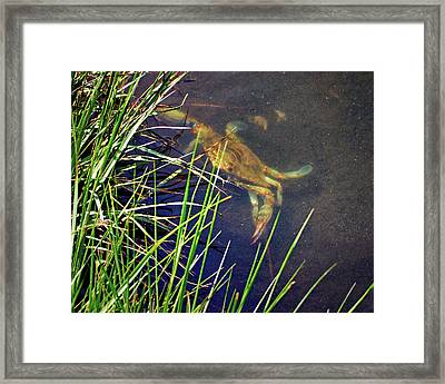 Framed Print featuring the photograph Maryland Blue Crab Lurking In An Assateague Marsh by Bill Swartwout Fine Art Photography
