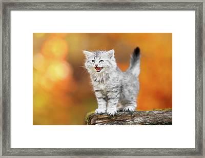 Meowing Little Baby Kitten Autumn Framed Print by Kim Partridge/partridge-petpics