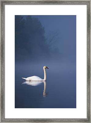 Framed Print featuring the photograph Misty River Swan 2 by Davor Zerjav