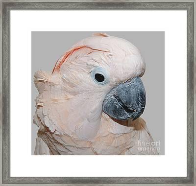 Moluccan Cockatoo Framed Print