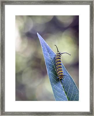 Monarch Butterfly Grub On A Leaf Framed Print by Alberto J. Espiñeira Francés - Alesfra