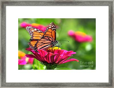Monarch Visiting Zinnia Framed Print