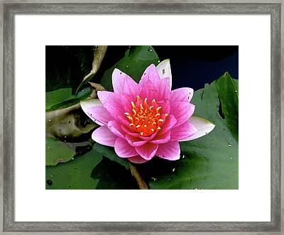 Monet Water Lilly Framed Print