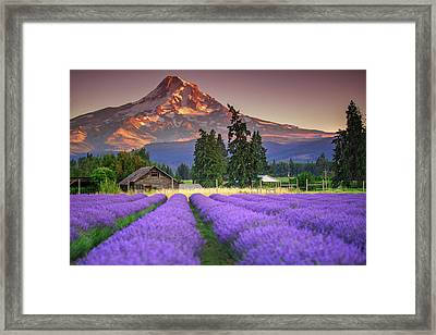 Mount Hood Lavender Field  Framed Print