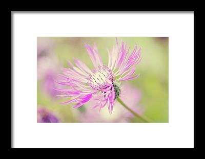 Centaurea Montana Framed Prints