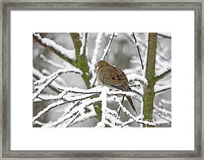 Mourning Dove In Snowstorm Framed Print