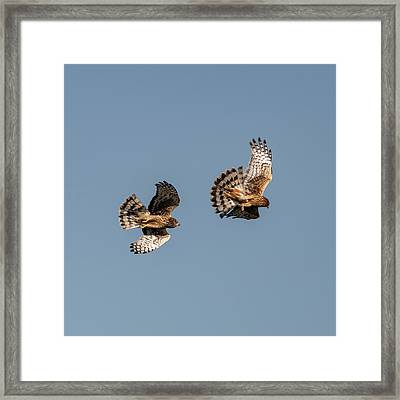 Northern Harriers 7 Framed Print