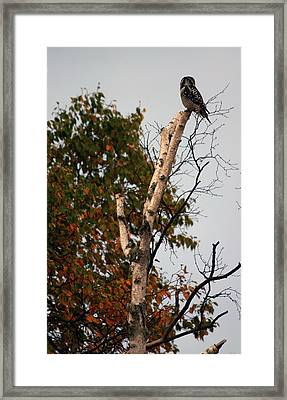 Northern Hawk Owl 101402 Framed Print