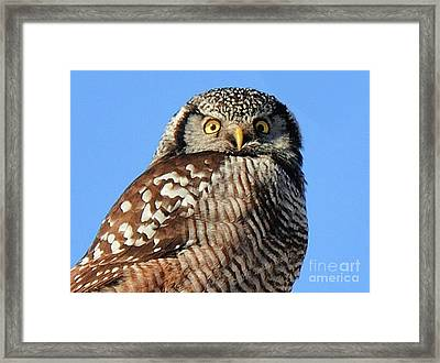Northern Hawk-owl Framed Print