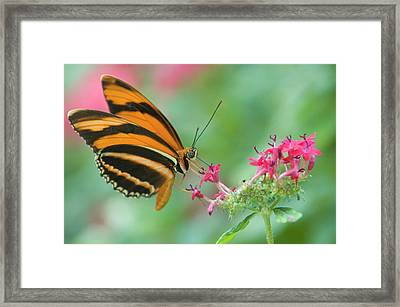 Orange Butterfly Feeding On Pink Flowers Framed Print by By Ken Ilio