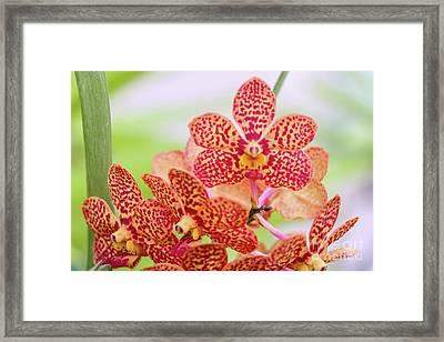 Orange Spotted Orchids Framed Print