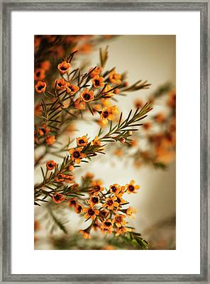 Orange Waxflowers Chamaelaucium Framed Print by Maria Mosolova