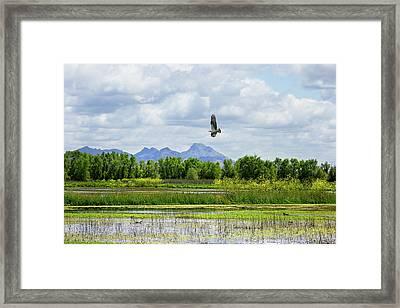 Osprey Over The Wetlands Framed Print
