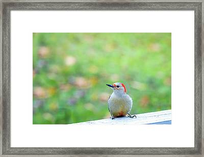 Framed Print featuring the photograph Our First Red-bellied by Onyonet  Photo Studios