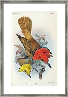 Pacific Royal Flycatcher Framed Print
