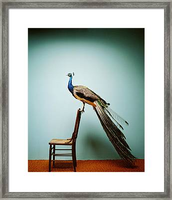 Peacock Pavo Cristatus On Chair Framed Print