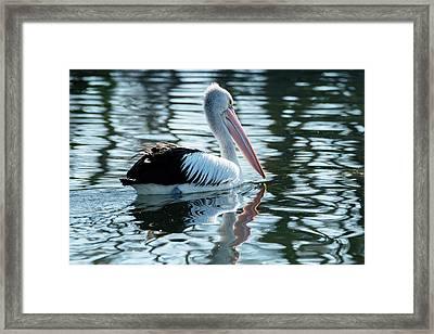 Pelican On The Lake Framed Print