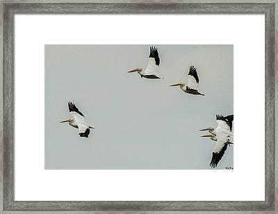 Pelicans In Flight Framed Print