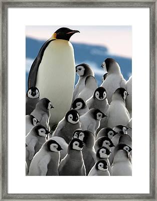 Penguin Creche In Antarctica Framed Print by David Yarrow Photography