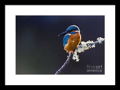 British Birds Framed Prints