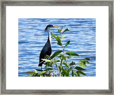 Pied Heron Tree Framed Print