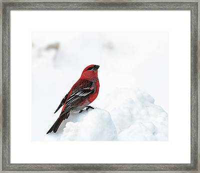 Pine Grosbeak In The Snow Framed Print