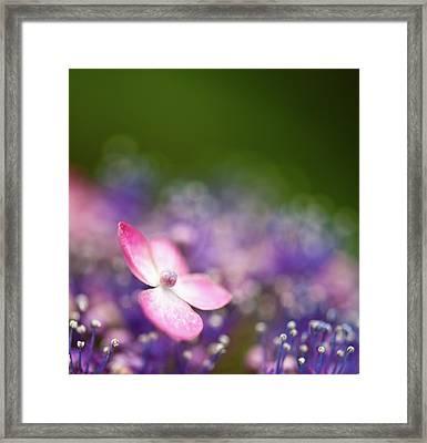 Pink And Purple Hydrangeas Framed Print by Nazra Zahri
