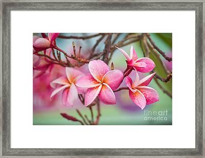 Pink Color Frangipani Flower Beauty Framed Print by Focusstocker