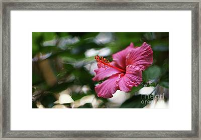 Framed Print featuring the photograph Pink Hibiscus Flower by Pablo Avanzini