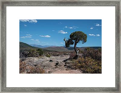 Pinyon Pine With North Rim In Background Black Canyon Of The Gunnison Framed Print