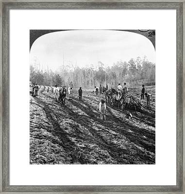 Planting Sugar Cane In Georgia Framed Print by Hulton Archive