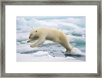 Polar Bear Jumping In The Fast Ice Framed Print by Arturo De Frias Photography