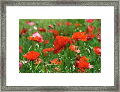 Poppies In The Field Framed Print