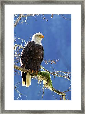 Portrait Of A Backlit Bald Eagle In Squamish Framed Print