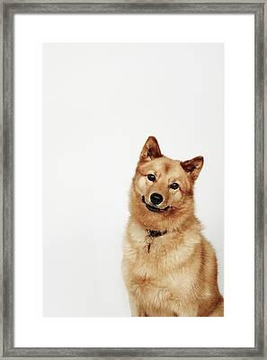 Portrait Of A Finnish Spitz Dog Smiling Framed Print by Flashpop