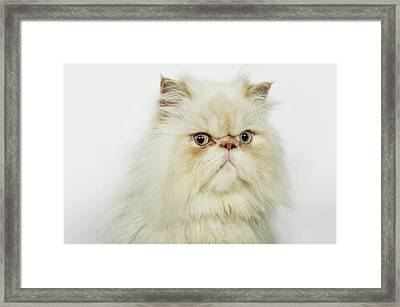 Portrait Of A Persian Cat Framed Print by Flashpop