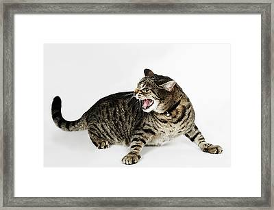 Portrait Of Cat Hissing Framed Print by Flashpop