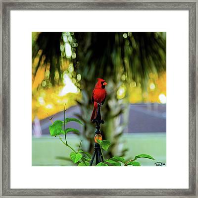 Proud Male Cardinal Framed Print