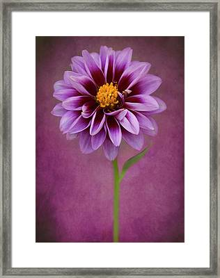 Framed Print featuring the photograph Purple Dahlia by John Rodrigues