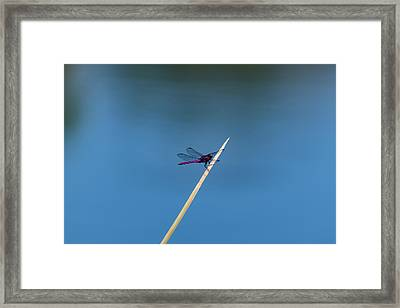 Purple Dragonfly Framed Print