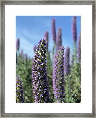 Purple Hyssop  Framed Print