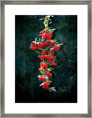Pyracantha Berries - Do Not Eat Framed Print