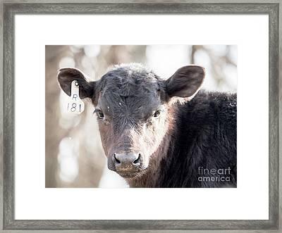 R181 Cow Framed Print