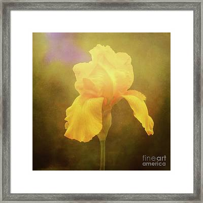 Radiant Yellow Iris With A Vintage Touch Framed Print