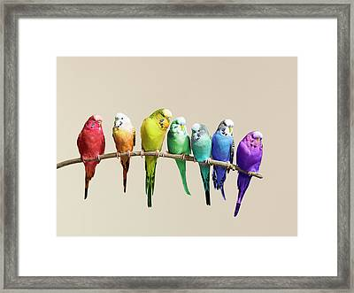 Rainbow Row Of Budgies Sat On A Branch Framed Print