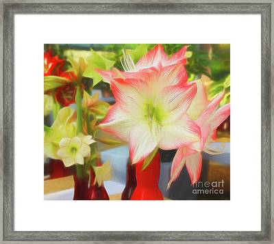 Red And White Amaryllis Framed Print