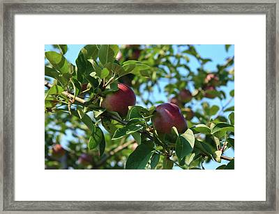 Framed Print featuring the photograph Red Apples In The Apple Tree by Tatiana Travelways